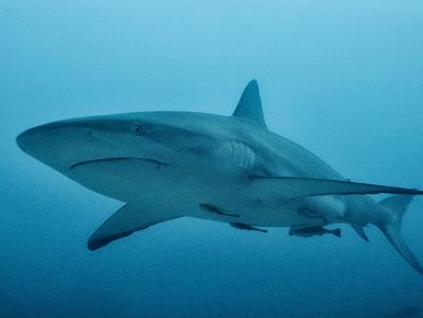 Virtual Shark Encounter